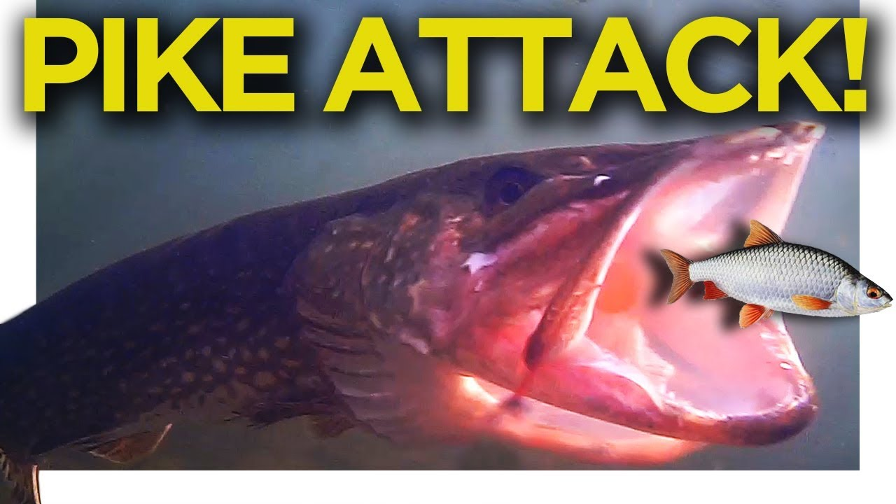 PIKE ATTACKING BAIT UNDERWATER!