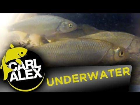 Underwater film - Dace Chub Trout and Minnows