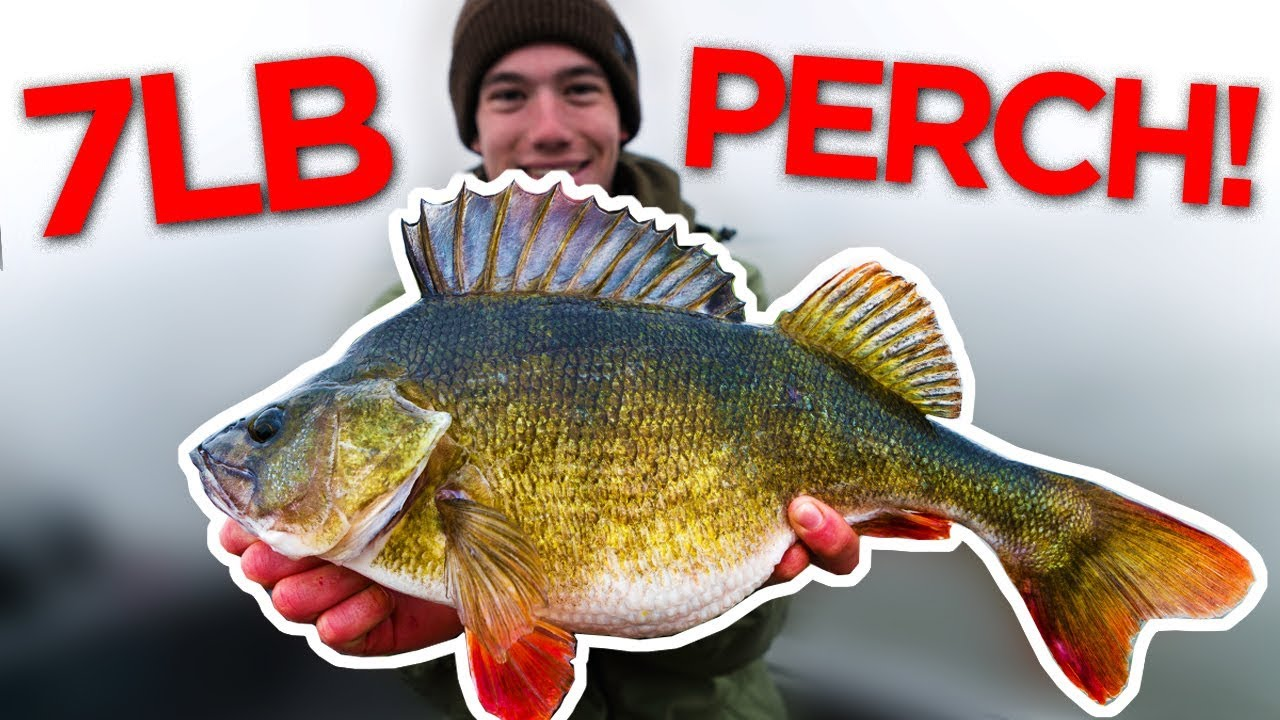 Perch Fishing for GIANTS - The biggest perch I've ever seen